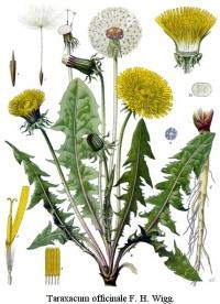 scheda botanica tarassaco